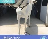 shay-silvia-3